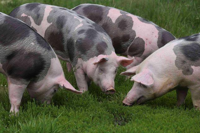 Porcos de criação (Excelente rendimento de carcaça)
