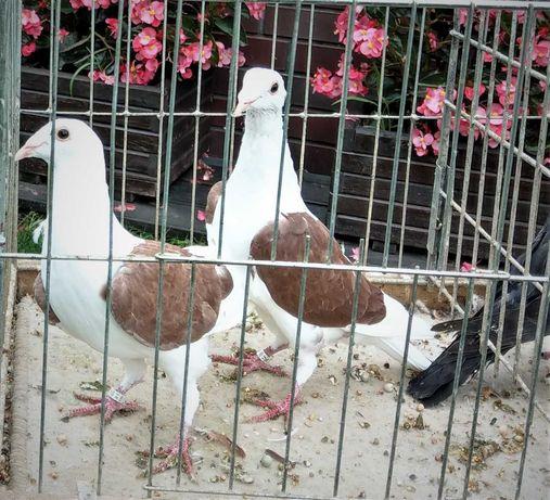 Gołębie; Śląskie Tarczowe '2021