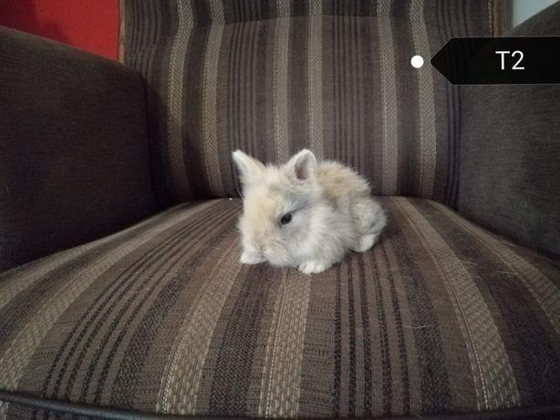 Króliki Teddy miniaturki długowłose.