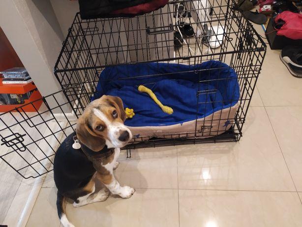 Beagle piękny 5,5 miesięczny szczeniak