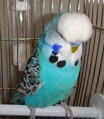 ЧЕХИ выставочные попугаи