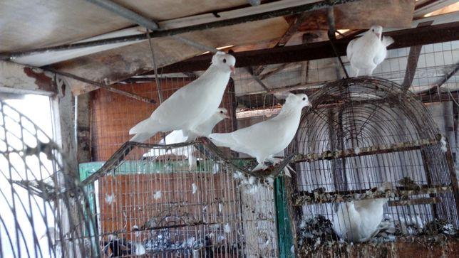 ппродам голубей
