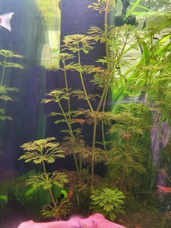 limnofilia sessiliflora
