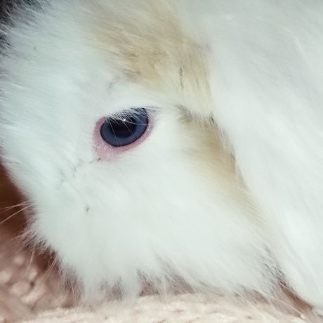 Coelho belier orelhudo olho azul