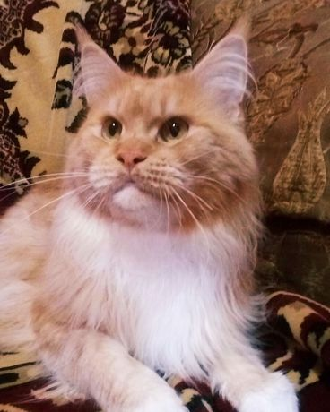 На продажу котик мейн-кун