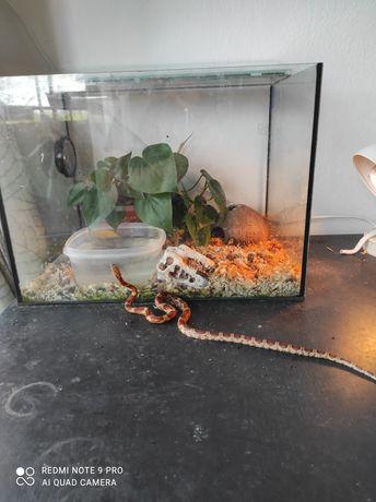 Wąż zbożowy +pełne wyposażenie
