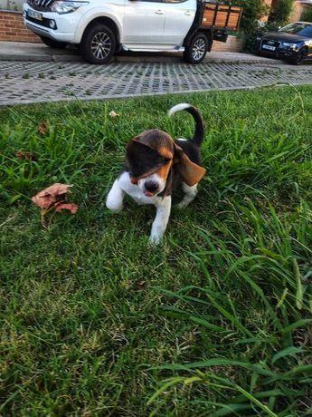 Cachorros beagles