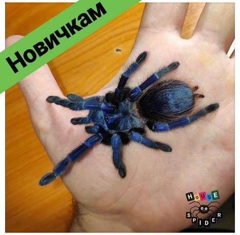 Шикарный синий паук птицеед тарантул для новичков самуы хобби