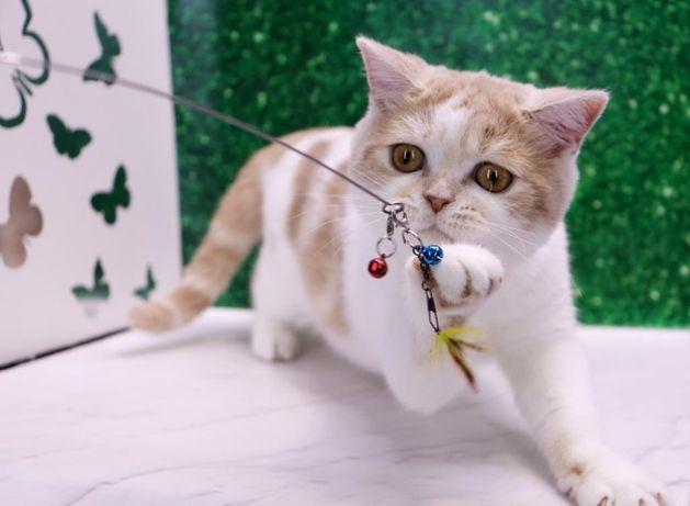 очень милый плюшевый породистый котик