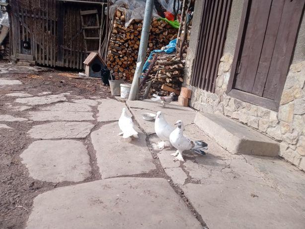 Продам голубів павичі і кучерявих або обміняю є пари )