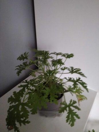 Anginka cytrynka geranium, roślina doniczkowa kwiatek