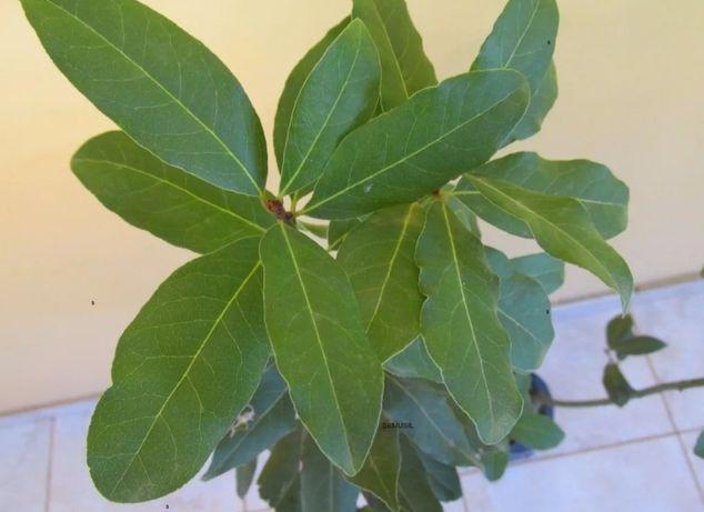Loureiro planta e Folha de louro (biológico)