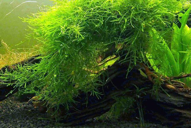Mech Java Moss (Jawajski) Rarytas
