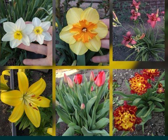 Тюльпаны, нарцисс, ирисы, лилии, лилейники,анемона