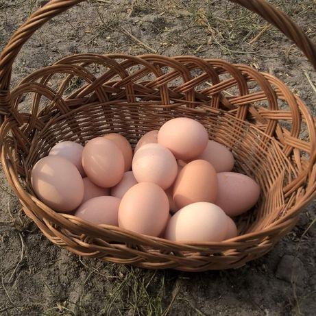 Jajka Jaja wiejskie, świeże, zdrowe, wolny wybieg. Własne zboża.