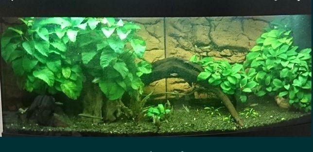 Растения для аквариума (анубиас)