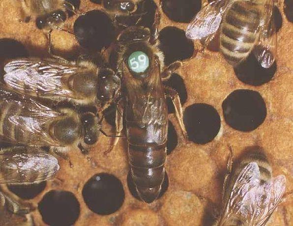 Пчелопакеты Карника Винтерсбах ( Carnica Wintersbach) 2021 г.