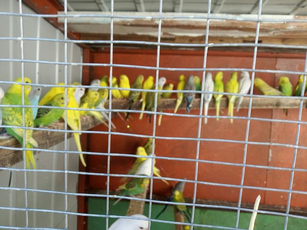 Волнистые попугаи, Корелла ( Карелла), амадины, канарейки