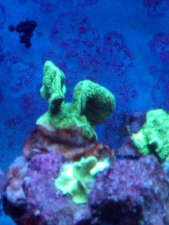 Akwarium morskie szczepki korali