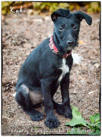 Adoptuj Radzyminiaka- Kobi- 3 miesięczny szczeniak