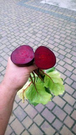 Buraczek, burak ćwikłowy, czerwony! Naturalny, od rolnika!
