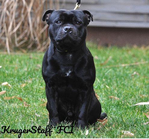 Staffordshire bull terrier Staffik
