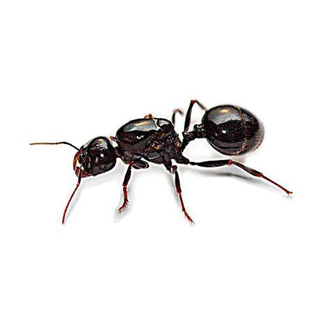 Колония муравьев Жнецов Messor Struktor для формикария муравейника
