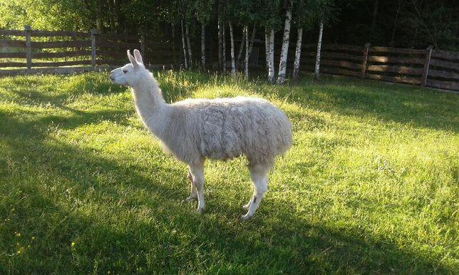 Lama samiec