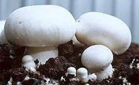 Мицелий грибов шампиньона вешенки грибние блоки вешенка шампйон гливи