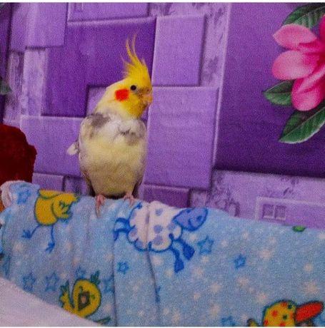 Продам попугая Корелл