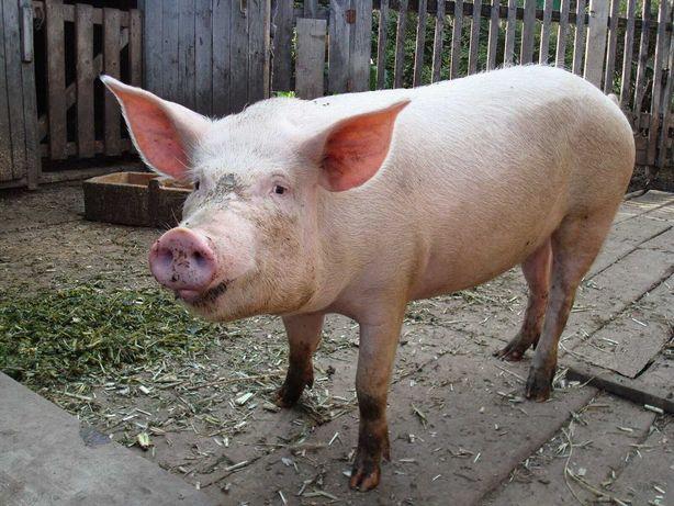 Свинина, свиня, 75 грн