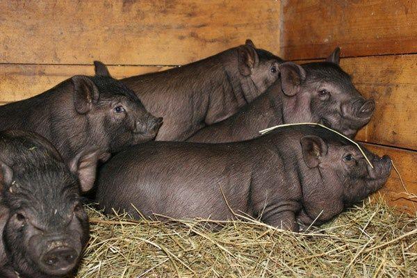 Поросята кармала і в'єтнамської свині