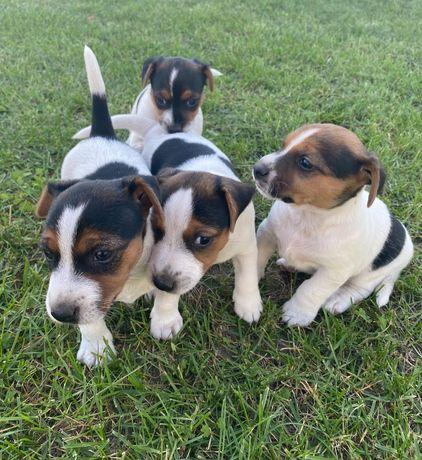 Jack Russell Terrier-gładkowłose suczki do rezerwacji