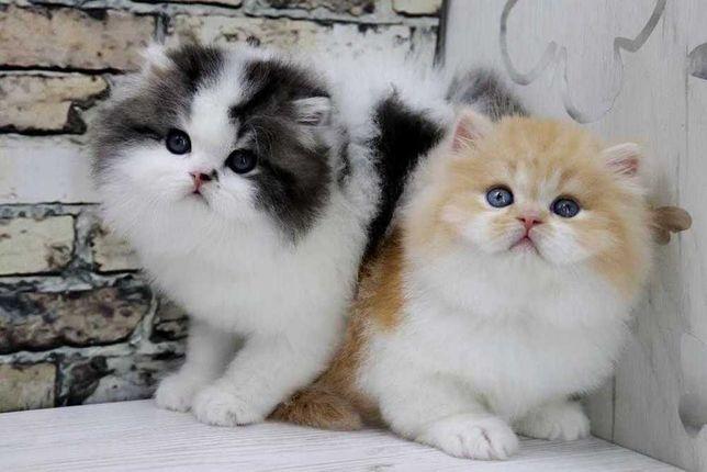 Красивые шотландские прямоухие котята