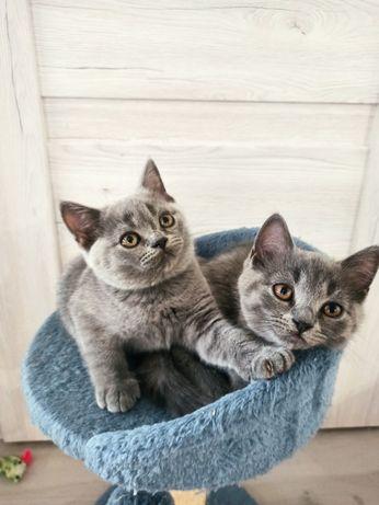 Kot kocur kotka brytyjski krótkowłosy z rodowodem.