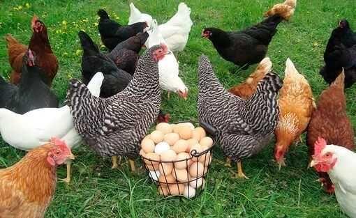 Кури, гуси, качки, мулард, бройлер, комбікорм суперціни