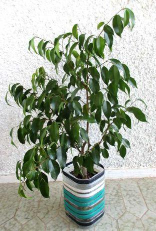 Benjamina, planta de interior