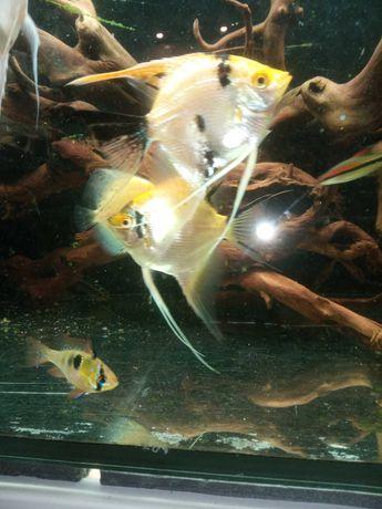 Skalary-ryby akwariowe