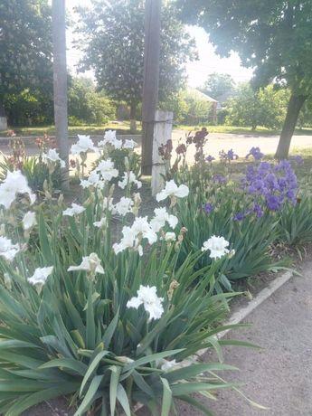 Саженци и цветы ирисов