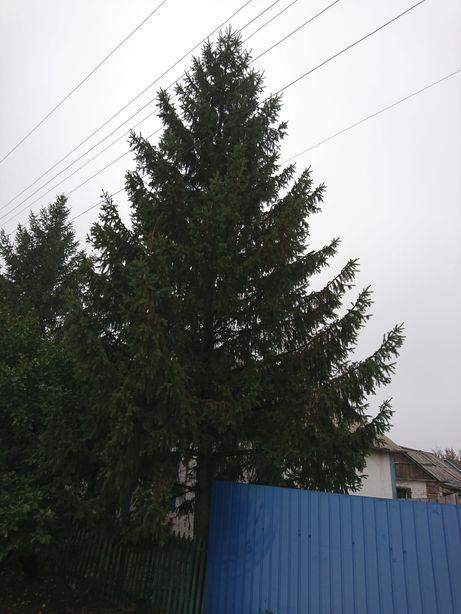Продам закарпатськие елки