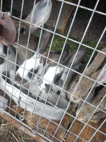 Продам кролів 200грн