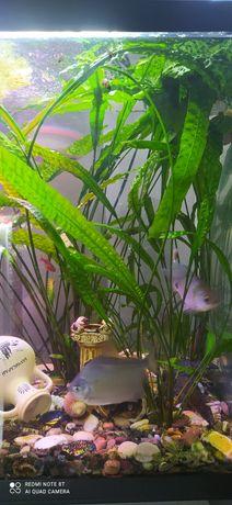 Криптокарина растение в аквариум