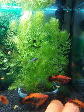 Rogatek – roślina akwariowa