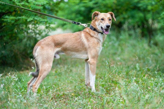 Уникальній-длинноногий спокойний умний 1рік собака Хобіт.