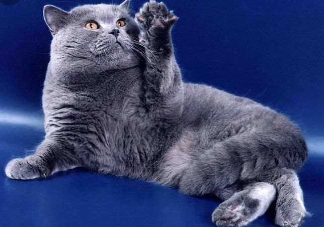Vip кот приглашает на вязку