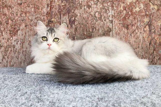 Kрасочная шотландская длинношерстная кошечка