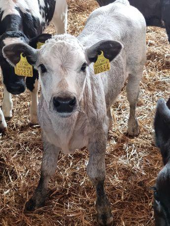 Byczki mięsne waga od 70 kg do 100kg