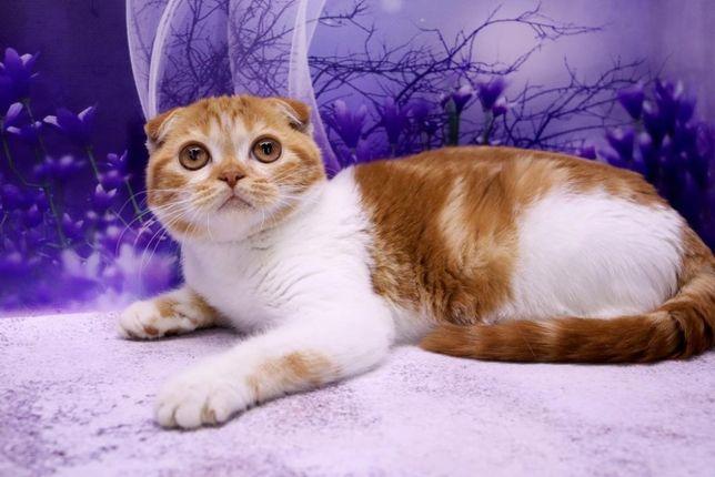 Скоттиш фолд, котик