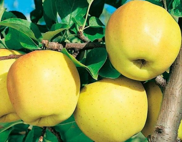 Продам яблука, різних сортів.