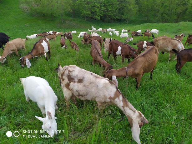 Продаются 100% зааненские и англо-нубийские козы и козлята